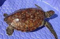 juvenile-green-sea-turtle
